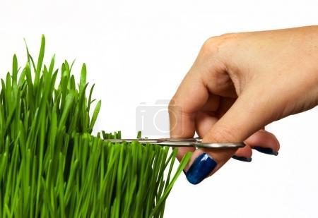 Photo pour Une main avec des ciseaux coupant l'herbe isolée sur fond blanc - image libre de droit