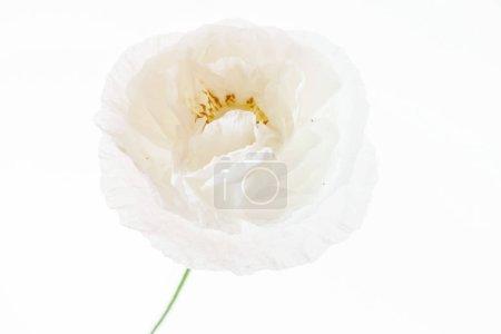 Tender poppy flower