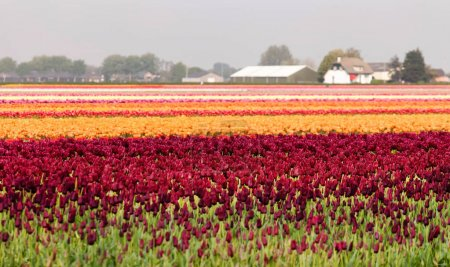 spring fields of tulips in Holland