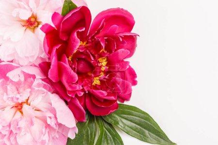 Photo pour Fleurs pivoines tendres sur fond - image libre de droit