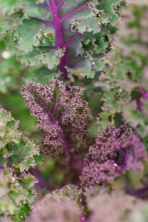 violet russian kale