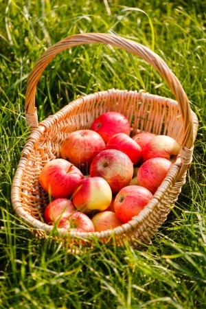 Fresh red ripe apples in basket