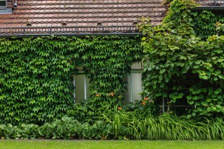 Ivy clad house