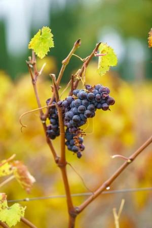 autumn vineyard with grapes. Close up