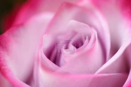 bright rose flower close up