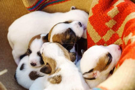 cute Jack Russell Terrier Puppies