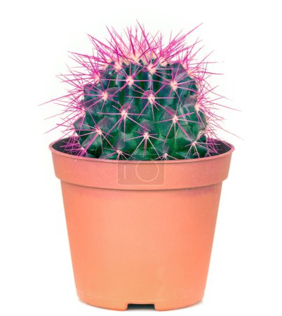 Potted cactus, isolated