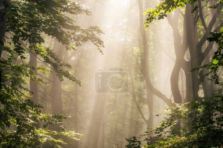 Photo for Morning sun rays in green forest - Royalty Free Image