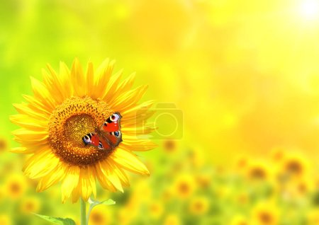 Photo pour Papillon sur tournesol jaune vif sur fond vert ensoleillé - image libre de droit