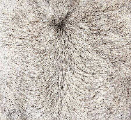 Fluffy skin of asian ox