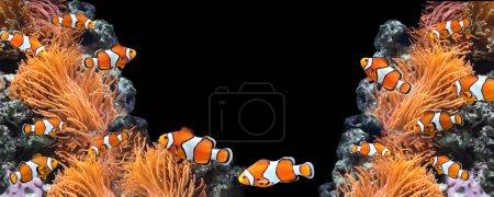 Sea anemone and clown fish