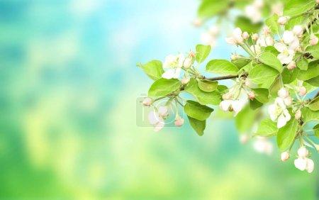 Photo pour Bannière horizontale de printemps avec des fleurs de pomme sur un arrière-plan flou de couleurs bleues et vertes. Maquette modèle. Espace copie de texte - image libre de droit