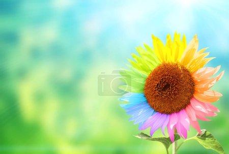 Photo pour Concept - être soi-même, être unique. Tournesol avec pétales peints en couleurs arc-en-ciel sur fond flou de couleurs vertes et bleues - image libre de droit