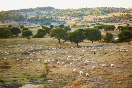 Sheep herd on pasture in Sardinia