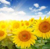 Slunečnice a slunce