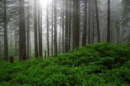 Photo pour Arbres dans la forêt et le brouillard - image libre de droit