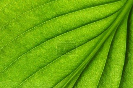 Photo pour Feuilles vertes fond. Texture des feuilles - image libre de droit