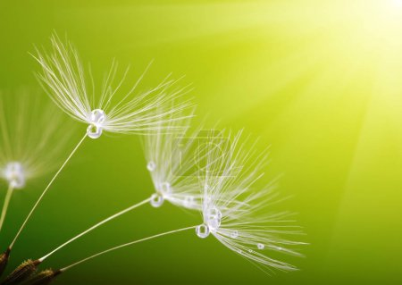 Photo for Dandelion flower on blurred background - Royalty Free Image