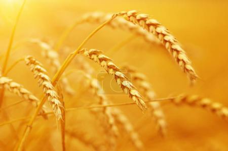 Weizenfeld an der Sonne