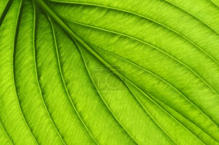 Photo for Green leaves background. Leaf texture - Royalty Free Image