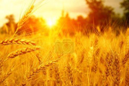 Photo pour Champ de blé au soleil. Concept de récolte et d'alimentation - image libre de droit