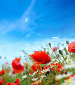 Field of bright red poppy flowers