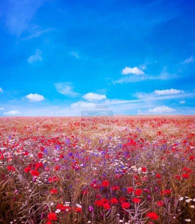 Field of bright red poppy flowers