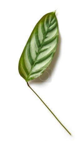 Photo pour Feuille tropicale verte isolée sur fond blanc - image libre de droit