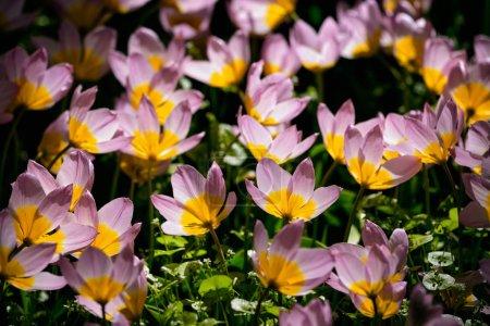 Photo pour Tulipes roses en fleurs Tulipa saxatilis dans le jardin de Keukenhof, également connu sous le nom de jardin de l'Europe, l'un des plus grands jardins de fleurs du monde et attraction touristique populaire. Lisse, Pays-Bas . - image libre de droit