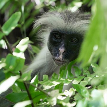 curious shaggy ape on a tree in Jozani Chwaka Bay National Park