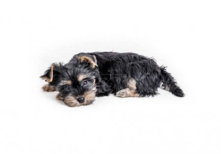 puppy york isolated