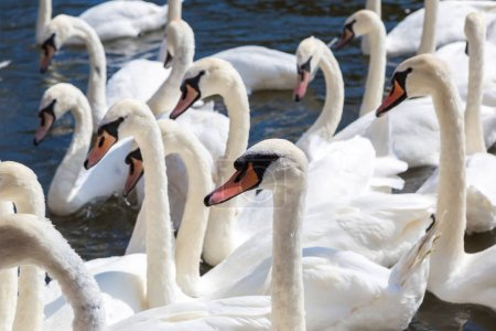 Photo pour Cygnes et canards sur la rivière à Stratford-upon-Avon, Angleterre, Royaume-Uni - image libre de droit