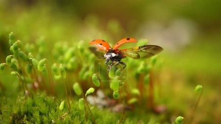 Photo pour Gros plan sur la faune d'une coccinelle dans l'herbe verte de la forêt. Macrocosme dans la nature. Coccinella septempunctata, la coccinelle à sept points, est la coccinelle la plus commune en Europe.. - image libre de droit