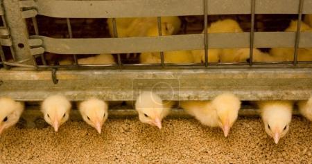 Photo pour Jeunes poulets à griller à la ferme avicole - image libre de droit