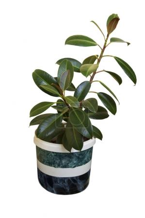 Photo for The small ficus in a pot is isolated on a white background - Royalty Free Image