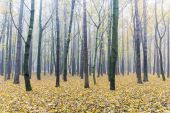 autumnal forest with beautiful trees with yellow foliage immersed in fog