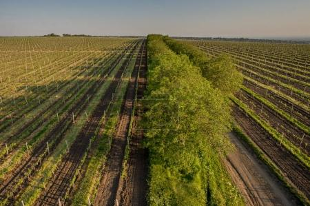 Grape fields in spring and summer in the sun