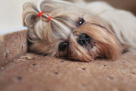 Shih tzu dog resting
