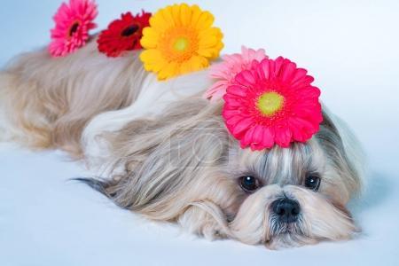 Shih tzu with flowers portrait
