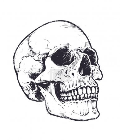 Anatomic Skull Vector