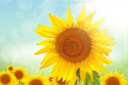 yellow sunflower at summer day
