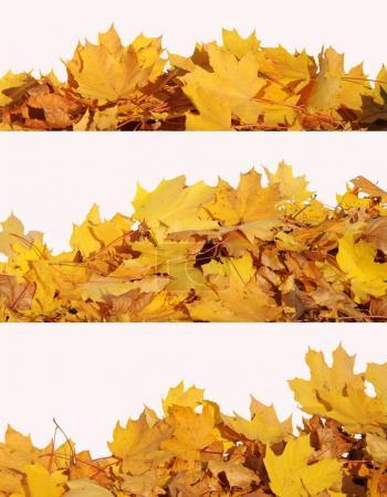 Collage of autumn fallen maple leaves isolated on white