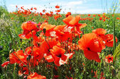 Red poppies blossom
