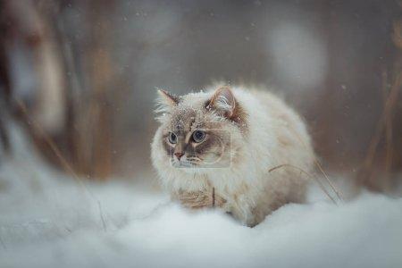 Neva masquerade cat winter  portrait