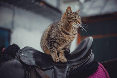 gato de tabby en silla de montar