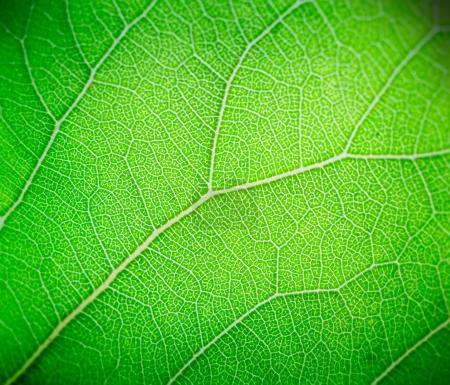 Photo pour Feuille vert clair macro fond . - image libre de droit