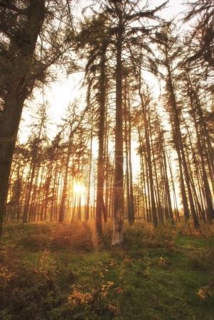 Photo pour La belle forêt automnale avec des pins - image libre de droit