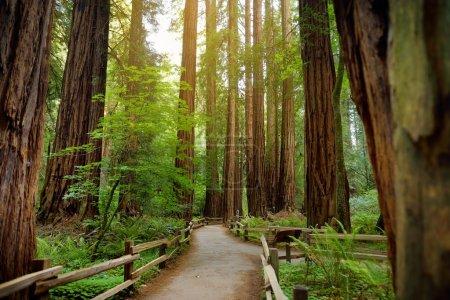 Muir forest near San Francisco