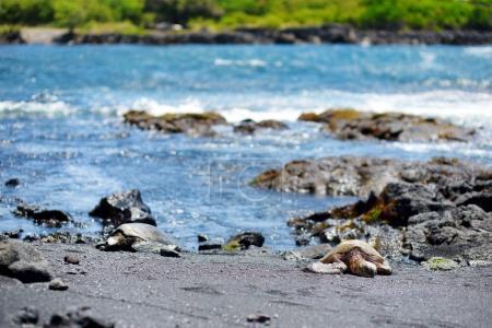 Hawaiian green turtles