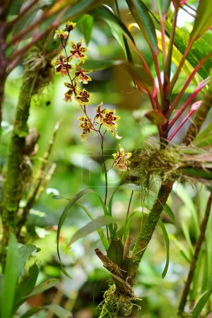 orchids in natural environment in Tropical Botanical Garden of the Big Island of Hawaii